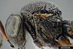 Trissolcus itoi