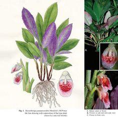 Species New to Science: [Botany • 2014] Boesenbergia purpureorubra • A New…