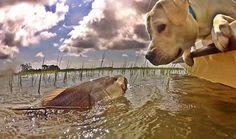 Sir Fritz A Lot, a yellow Labrador retriever from Charleston, South Carolina.