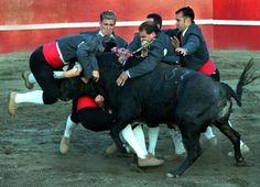 "Portuguese bullfight. This is the so-called ""pega de caras"")"" (lit. ""face-to-face grab), when 8 men stop the bull with their bare hands. An amazing act of courage, seldom seen elsewhere."