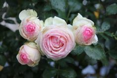 rose anciennes!!!
