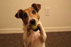 Useful Dog tricks-by Sam the Jack Russell