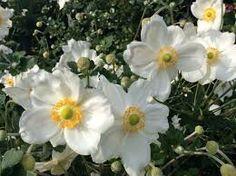 """Herbstanemone """"Honorine Jobert"""" – Google-Suche Pop Up, Japan, Plants, Google, Lawn And Garden, Shade Perennials, Schmuck, Ideas, Popup"""
