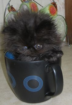 Teacup Persian cats are miniature cats, and so they do not grow to the size of most other breeds of cats. get some yourself some pawtastic adorable cat apparel! Teacup Persian Cats, Teacup Kitten, Persian Kittens, Pretty Cats, Beautiful Cats, Animals Beautiful, Crazy Cat Lady, Crazy Cats, Kittens Cutest