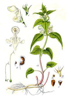 Die oft unbeachtete zahme Nessel ist ein schmackhaftes Wildgemüse, als Salatgrundlage geeignet und kann auch bei vielen gesundheitlichen Beschwerden helfen.