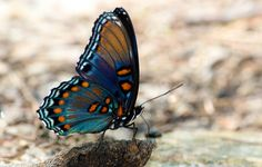 Red Spotted Purple Underwings by Modo Frodo's Cabinet of Curiosities, via Flickr | #warm #cool #orange #tan #brown #blue #turquoise  #butterfly