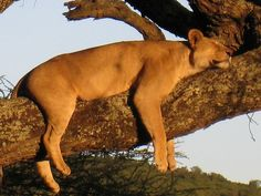 Lioness sleeping on a tree by Leopard8, via Flickr