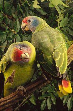 Amazone à joues bleues ( Amazona brasiliensis )