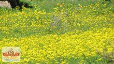 Namaqua Flower Beach Camp - Field Of Flowers