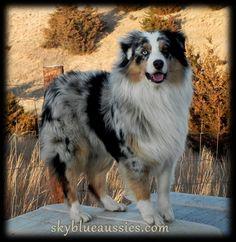 Our lover boy - Sky Blue Ranch Bowdie  blue merle Australian Shepherd