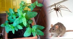 This simple plant in your house and you will never see mice, spiders and other insects; My grandmoth