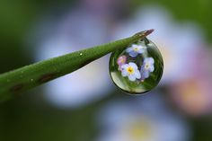 Forget-me not dewdrop refraction
