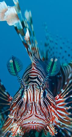 """Lionfish: """"This venomous Pacific invader has spread right along the US southeast Atlantic coast and down through the Caribbean to northern South America. Like the lions of the African savannahs it tops the food chain of its new home, having catastrophic effects on the health of coral reefs in the Caribbean."""" 100 Alien Invaders; www.bradtguides.com"""