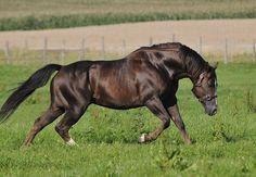 American Quarter Horse stallion, liver chestnut, SMARTEST MAGICIAN | Silverstone Ranch