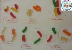 Using candy to teach Mitosis and Meiosis: Beg, Borrow, and Teach!