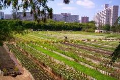 cuban urban agriculture