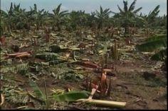 Paso De Huracán Irma En: Pérdida De Plantaciones De Banano Y Arroz Podría Ser De Más De Mil Millones De Pesos