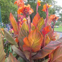 Tropicanna Canna - Anthony Tesselaar International. Bought one on clearance late in the season. It looks just like this. Hope to overwinter and divide next Spring.