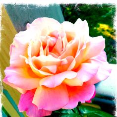 This is one of my favorite roses..so beautiful love it!
