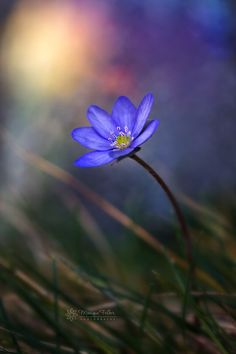 ~~the little flower and her moon | anemone | by Monique Felber~~
