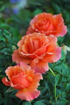Dark Peach Roses beautiful #flowers #garden