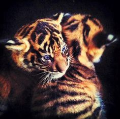 Twin tiger cubs.
