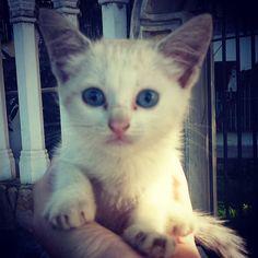 fue abandonada... bebecita.. Siamés.. ojos azules... alguien la quiere?