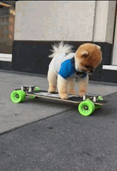 Jiff The #pomeranian Skateboards With AwesomenessYou own the streets, dawg