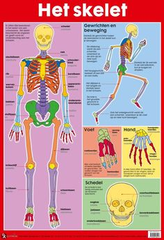 Poster The Skeleton - Edutrix - Het lichaam Poster Doctor Who, Poster Harry Potter, Learn Dutch, Dutch Language, Organized Mom, Kids Class, School Posters, Def Leppard, School Hacks