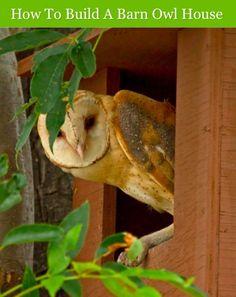 How To Build A Barn Owl House...http://homestead-and-survival.com/how-to-build-a-barn-owl-house/
