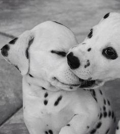 ☺️ Dalmatian puppies