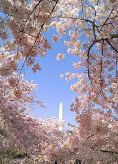 Washington.DC Cherry trees in bloom!