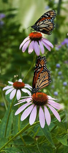 Two Monarch Butterflies By Roni Chastain