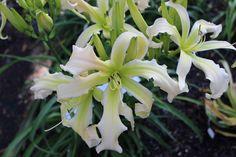 Taglilie, daylily, Hemerocallis  Lillians s Waper Trail