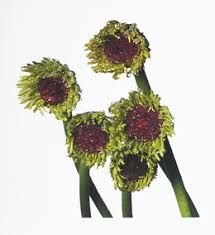 Irving Penn: Flowers | Hamiltons Gallery | Artsy National Gallery Of Art, National Portrait Gallery, Book Flowers, Wild Flowers, Irving Penn Flowers, Alexey Brodovitch, Plains Background, Beyond Beauty, Art Institute Of Chicago