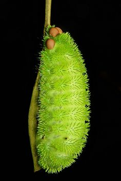 "Stinging Nettle Slug Caterpillar- ""Pin Cushion"""