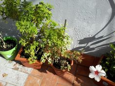 Más plantas y mi flor de híbisco