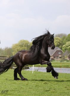 Friesian. one of my favourite breeds of horses