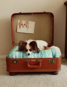 Adorable diy dog bed made out of a vintage suitcase and cute pillow! Complete with doggy artwork. Yup this is pretty much what i want to do. Now I've just got to find a suitcase big enough for Mara Vintage Suitcases, Vintage Luggage, Vintage Dog, Perro Papillon, Designer Dog Beds, Diy Dog Bed, Diy Bed, Cute Pillows, Animal Projects