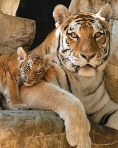 ~~Mama Siberian tiger with cub by Ron Parish~~ Such beautiful creatures Big Cats, Cats And Kittens, Cute Cats, Siamese Cats, Animals And Pets, Baby Animals, Cute Animals, Wild Animals, Humorous Animals