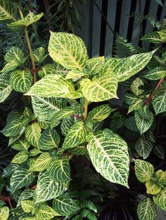 Pack a lot of plants in a small area with beefsteak plant's bold foliage. Available in shades of purple, pink, lime, and cream, the leaves look as great as coleus. Shade Flowers, Yellow Flowers, Tropical Garden, Summer Garden, Double Impatiens, Plants That Like Shade, Plants For Shady Areas, Shade Annuals, Shade Garden Plants