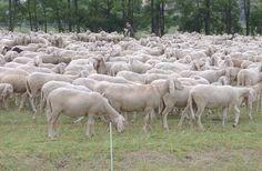 70 pecore sbranate dai lupi in provincia di Grosseto - http://www.toscananews.net/home/70-pecore-sbranate-dai-lupi-provincia-grosseto/