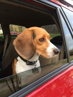 beagle in a bo beagle in a box beagles pinterest beagle