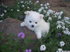 American Eskimo Dog puppy photo and wallpaper. Beautiful American ...