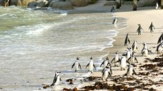 Wild African Penguins on Boulder's Beach in Simonstown, South Africa. @Semester at Sea Spring 2013 voyage.