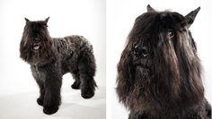The Bouvier is a steady, stalwart companion that is loyal, devoted, fearless and protective. Given daily exercise, it is calm and well-mannered indoors, but ready for an adventure in the great outdoors. It is independent and confident of its own judgment, yet biddable and willing to please. It can be domineering. It is reserved, even protective, toward strangers and can be aggressive with strange dogs.