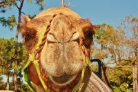 JSPuzzles - Play free Jigsaw puzzles online - A Camel