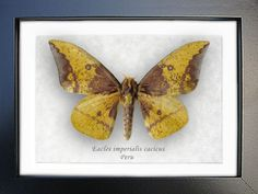 Real Moth Eacles Imperialis From Peru In Shadowbox by ButterfliesArtist on Etsy