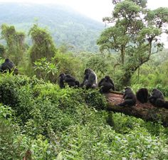 Planning a wildlife tour to Rwanda and want to enjoy the easy access to the majestic wildlife? Then there is no better way than a gorilla safari. http://rwandasafariholiday.com/package/gorilla-trekking-in-rwanda-3-days/