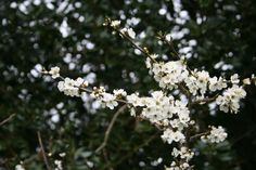 English Hedgerow, Early Spring Hawthorne Blossom